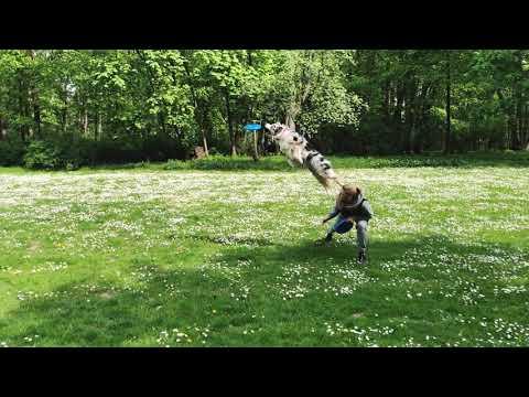 Fibi - Australian Shepherd - Frisbee training