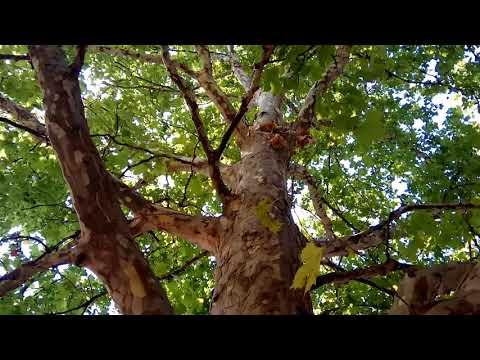 Чудо дерево Платан или просто Чинар