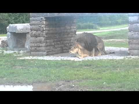 Two lions gettin' it on at the African Lion Safari