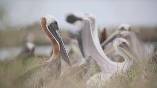 Protecting the pelican: Plans rise to restore Louisiana state bird habitat