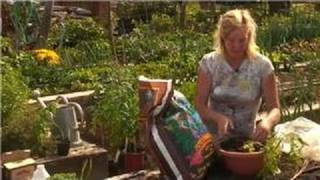 Growing Tomatoes : How To Plant Tomatoes In Hanging Buckets