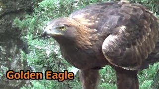 Cool golden eagle feeding time