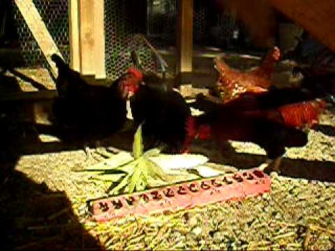 Chickens-and-Corn