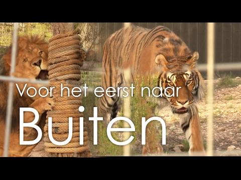 Leeuwen en tijgers voor het eerst naar buiten - Stichting AAP