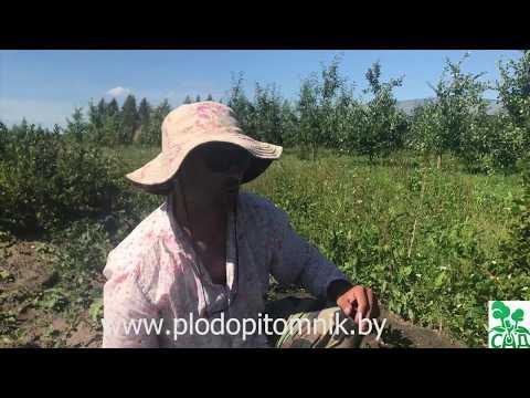 Крыжовник Черносливовый: описание сорта и особенности ухода