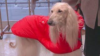 Милан становится законодателем мод и для собак (новости)
