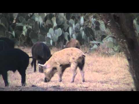 .22 hornet hog kills