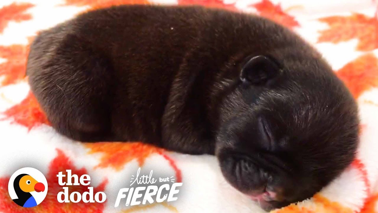 Watch These Half-Pound French Bulldogs Grow Up! | The Dodo Little But Fierce