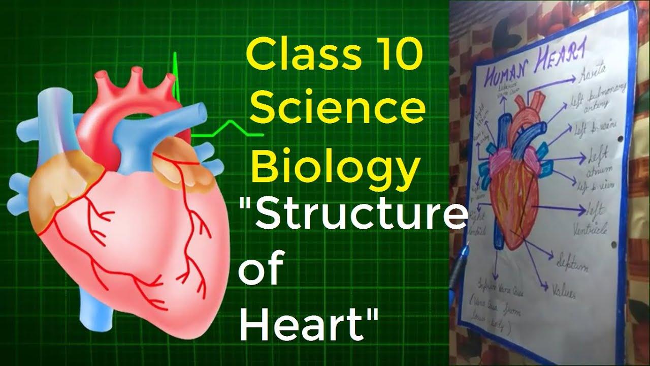 Class 10 | Structure of HEART | Biology | NCERT | by ...