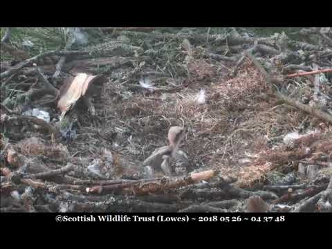Only 2 osplets plus a whole egg ~ ©Scottish Wildlife Trust, Lowes