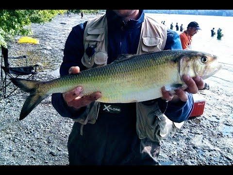 American Shad Run - Fishing In Montreal (Alose Savoureuse)