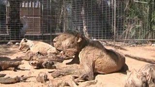 Pemilik Kebun <b>Binatang</b> Gaza Menjual Seluruh <b>Hewan</b> Kelaparan ...