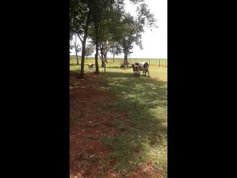 Carneiro matando vaca com uma cabeçada