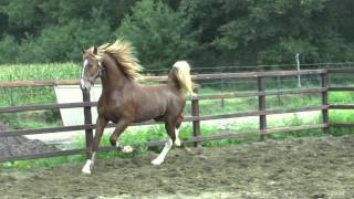 KWPN 2yr old Dutch Harness Horse stallion Interessant