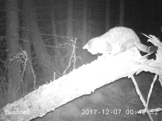 Clashindarroch Beast Scottish wildcat footage from Wildcat Haven