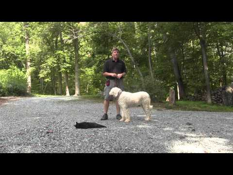 Komondor Dog Training High Point NC  Diamond