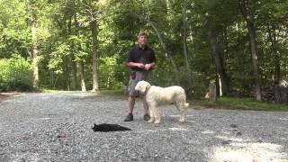 Komondor Dog Training High Point Nc  Diamond
