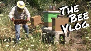 Shaking out laying workers - Bee Vlog #146 - Aug 2, 2014