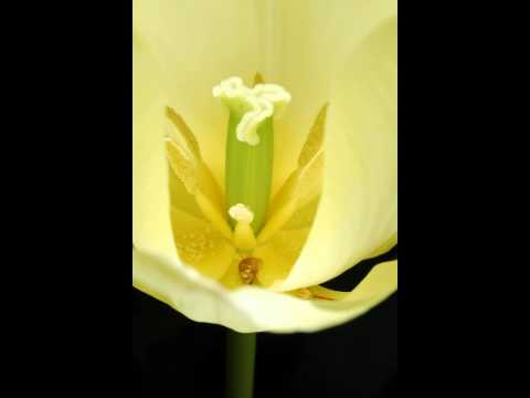 Tulip Flower - Free Photos And Art