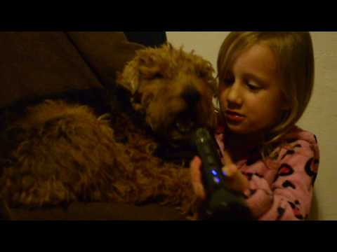 Dog Welsh Terrier Howling Singing with my Daughter Funny