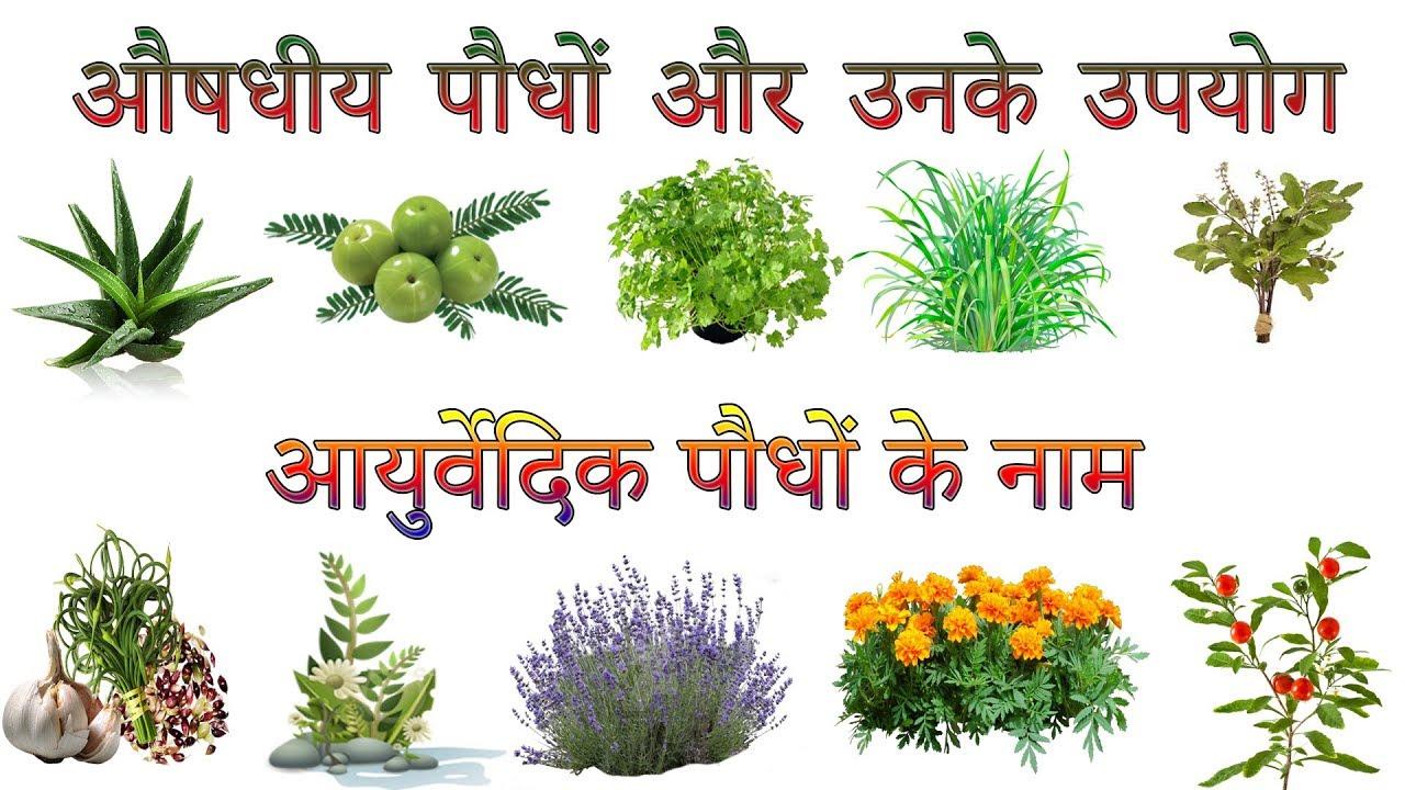 औषधीय पौधों और उनके उपयोग | Ayurvedic Plants Information ...