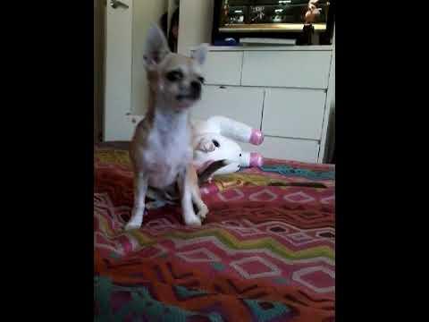 Coco playing around with Mrs bone