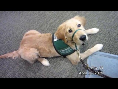One Second a Day - GDB Guide Dog in Training (Lombard)