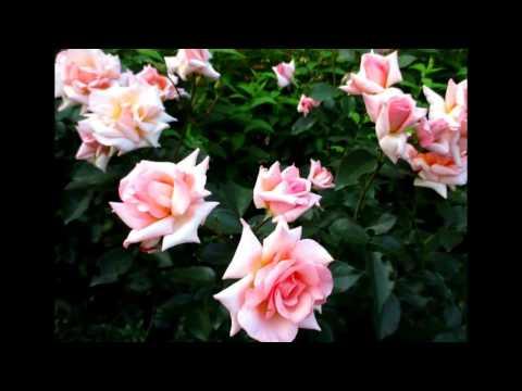 ✿➽  Роза Compassion (Belle de Londres) Первое цветение 2016