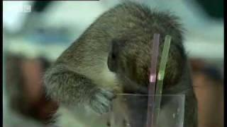 Alcoholic Vervet Monkeys! - Weird Nature - BBC animals thumbnail