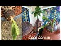 Coconut growing in the plastic pot | Coconut Bonsai Growing Tips