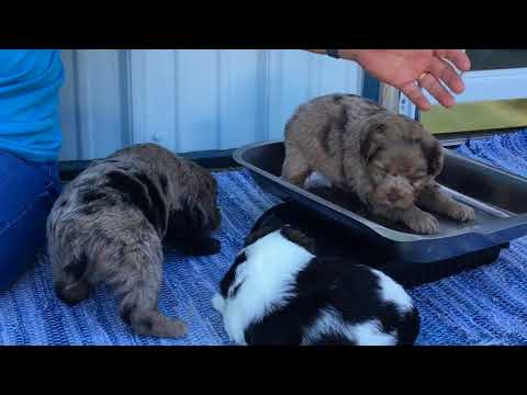 Bailey's schnoodle puppies 7-26-18. Miniature size schnoodles