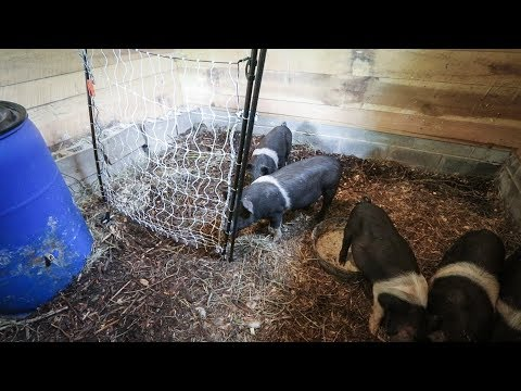 What Happens when you Train a Pig to an Electric Fence