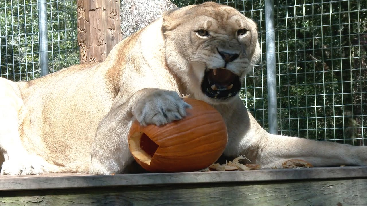 big cats and pumpkins youtube