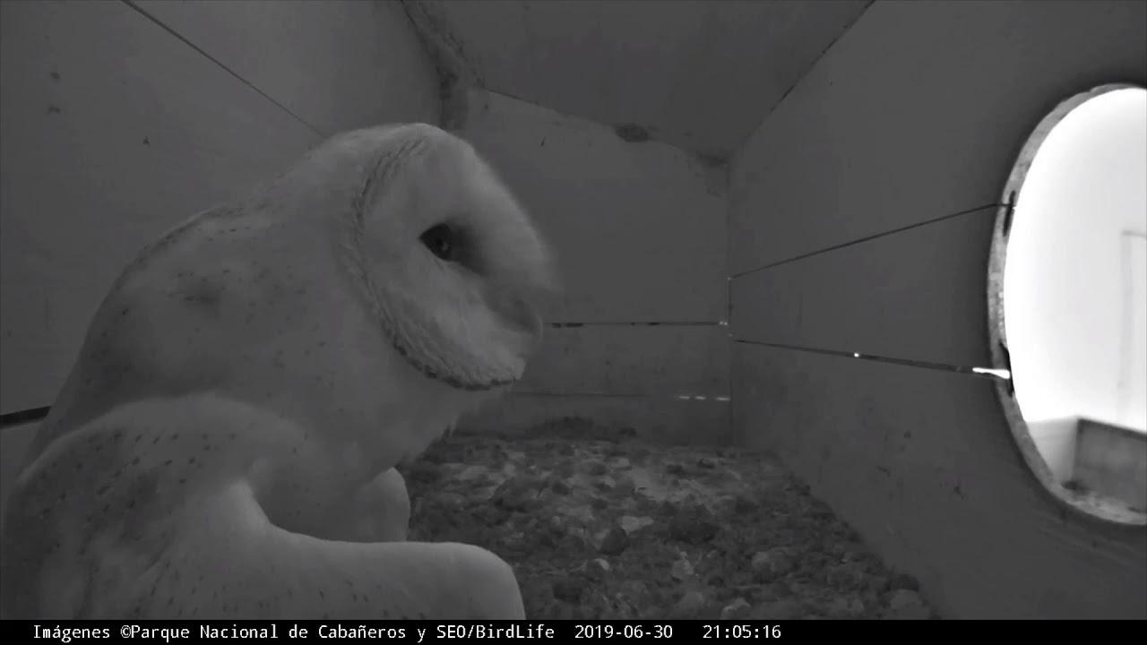 """Últimas horas de """"Canija"""" en el nido en la Webcam Lechuza ..."""