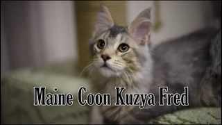 Выставка кошек онлайн мейн кун Kuzya Fred