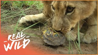 Zebra Fights Off Attacking Lion (Wildlife Documentary) | Lodging With Lions S1 EP11 | Real Wild