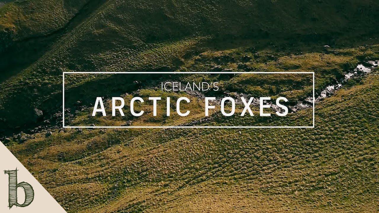 Iceland's Arctic Foxes   Short Wildlife Documentary