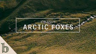 Iceland's Arctic Foxes | Short Wildlife Documentary