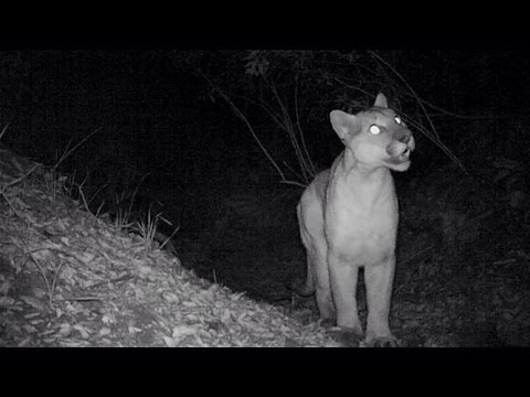 Today in the news, adult mountain lions chirp like birds