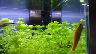 청소물고기 알지이터  열대어  어릴때는 청소를 열심히 …