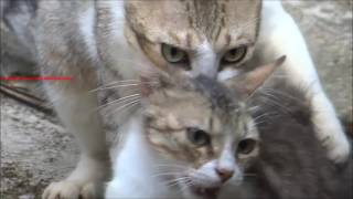 Cats Mating   Close up Video