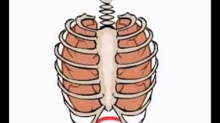 Работа мышц при дыхании