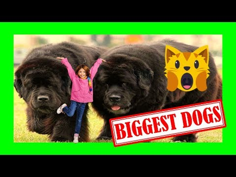 TOP10 ▶ BIGGEST FRIENDLIEST DOG BREEDS IN THE WORLD (2019) ✅ Best Dog Breeds for Families