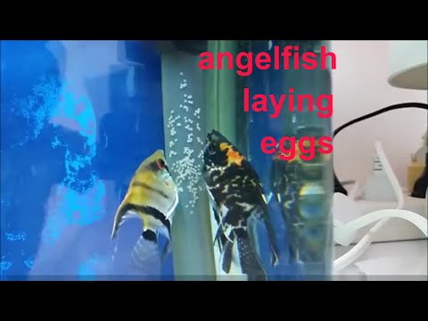 Angelfish Breeding: How To Tell When Angelfish Will Spawn. Angelfish Laying Eggs.  Angelfish Tank