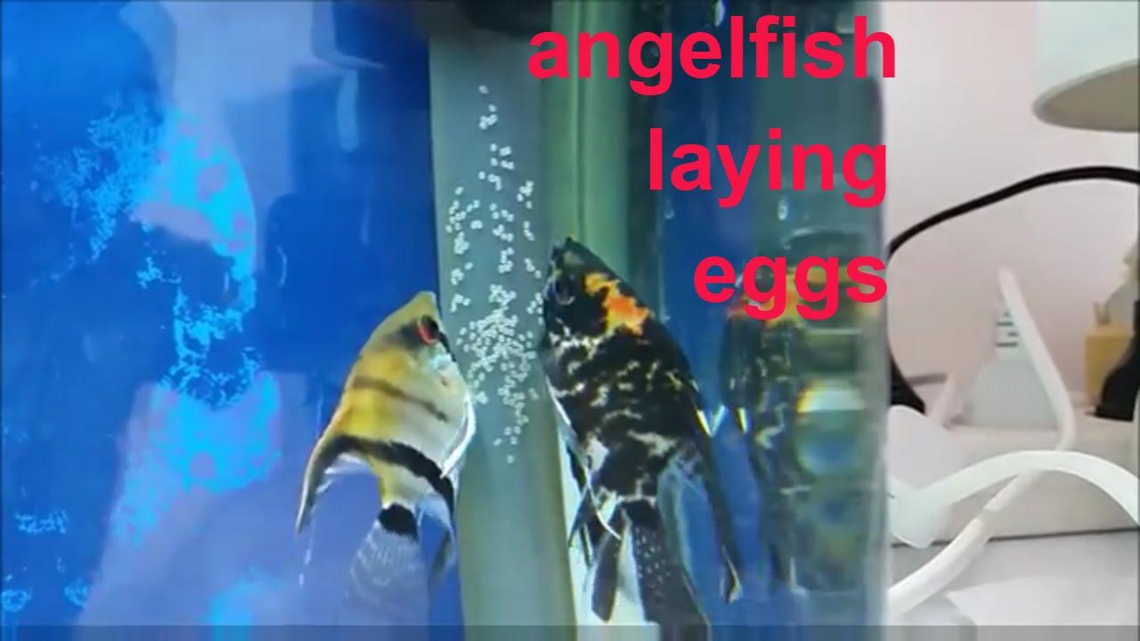 Angelfish breeding: How to tell when angelfish will spawn. Angelfish ...