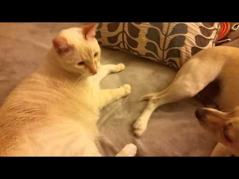 Burmese cat and Chihuahua Dachshund mix play