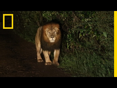 Thumbnail: A Riveting Encounter with a Rare Black-Maned Lion | National Geographic