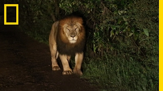 A Riveting Encounter with a Rare Black Maned Lion | National Geographic
