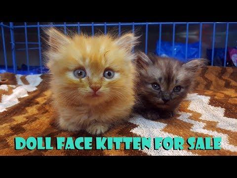 Kitten For Sale | Persian Kitten For Sale | Doll Face Kitten | Pet Spa | Pet Grooming