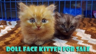 Kitten For Sale | Persian Kitten For Sale | Doll Face Kitten | Pet Spa | Pet Grooming